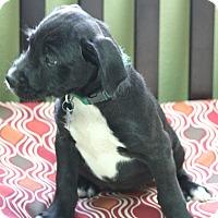 Adopt A Pet :: Peaches - Woonsocket, RI