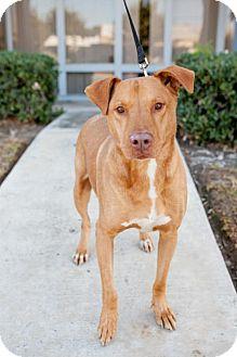Vizsla/Labrador Retriever Mix Dog for adoption in San Diego, California - Pancakes