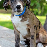 Adopt A Pet :: Biscuit - Waldorf, MD