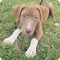 Adopt A Pet :: Tan Lab Mix - Austin, TX
