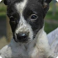 Adopt A Pet :: Elisa - Boston, MA