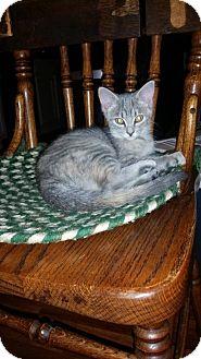 American Shorthair Kitten for adoption in Lewistown, Pennsylvania - Rosie