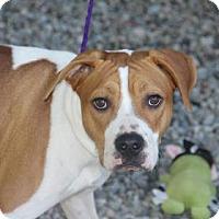 Adopt A Pet :: Champ - Greensboro, NC