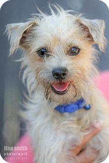 Toy Fox Terrier Mix Dog for adoption in Plano, Texas - Tyrell