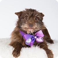 Adopt A Pet :: Muppet - St. Louis Park, MN