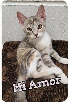 Domestic Shorthair Kitten for adoption in Huntington, New York - Miamor 2016172