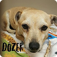 Chihuahua/Terrier (Unknown Type, Small) Mix Dog for adoption in Snyder, Texas - Dozer