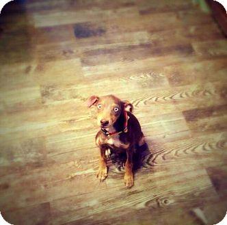 Doberman Pinscher Mix Puppy for adoption in Lubbock, Texas - Jessi