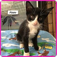 Adopt A Pet :: Pippy - Miami, FL