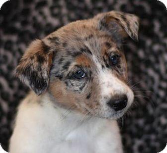 Border Collie Mix Puppy for adoption in Dodson, Montana - Nokie