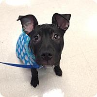 Pit Bull Terrier Mix Dog for adoption in Rochester, New York - Berkley