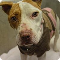 Adopt A Pet :: Bonita - Buena Vista, CO