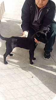 Labrador Retriever/German Shepherd Dog Mix Puppy for adoption in LAKEWOOD, California - Kasier