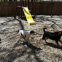 Adopt A Pet :: Bandit the pointer - Overland Park, KS