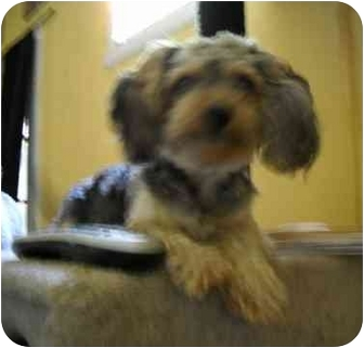 Yorkie, Yorkshire Terrier/Poodle (Toy or Tea Cup) Mix Dog for adoption in Phoenix, Arizona - Nina