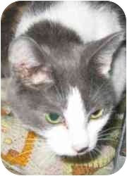 Domestic Shorthair Cat for adoption in Strathmore, Alberta - Oksana