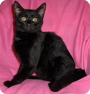 Domestic Shorthair Kitten for adoption in Richmond, Virginia - Carlos