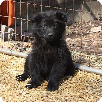 Australian Shepherd Mix Puppy for adoption in kennebunkport, Maine - David - PENDING, in Maine