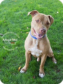 American Staffordshire Terrier Mix Dog for adoption in Scottsdale, Arizona - Rusty