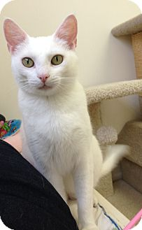 Domestic Shorthair Cat for adoption in Phoenix, Arizona - Lilly