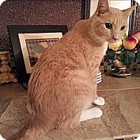 Adopt A Pet :: Pumpkin - Harrisburg, NC