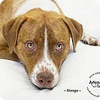 Adopt A Pet :: Mango - Phoenix, AZ