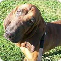 Adopt A Pet :: Hickory - Albany, NY
