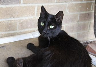 Domestic Shorthair Cat for adoption in Dallas, Texas - THOMAS