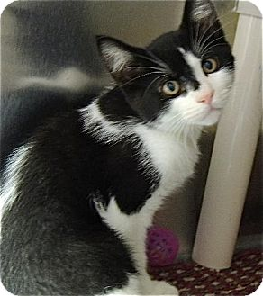 Domestic Shorthair Cat for adoption in Long Beach, Washington - Ross