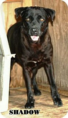 Labrador Retriever/Terrier (Unknown Type, Medium) Mix Dog for adoption in Miami, Florida - Shadow