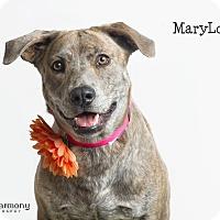 Adopt A Pet :: MaryLou - Chandler, AZ
