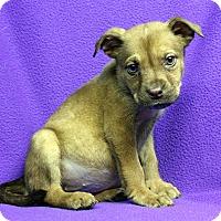 Adopt A Pet :: Caramia - Westminster, CO