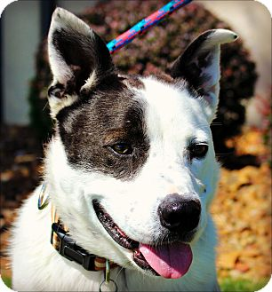 Cattle Dog Mix Dog for adoption in Clarksville, Tennessee - Rocky Top