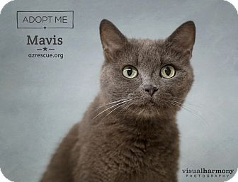 Russian Blue Cat for adoption in Phoenix, Arizona - Mavis