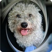 Bichon Frise Dog for adoption in Tulsa, Oklahoma - Adopted!!Bailey - IL
