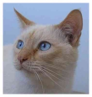 Siamese Cat for adoption in AUSTIN, Texas - Leon