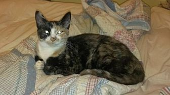 Domestic Shorthair Cat for adoption in Carlisle, Pennsylvania - Scarlett