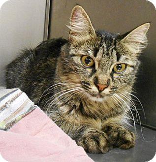 Domestic Longhair Cat for adoption in Redding, California - Jasper