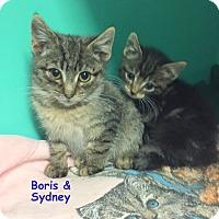 Domestic Shorthair Kitten for adoption in Cliffside Park, New Jersey - BORIS