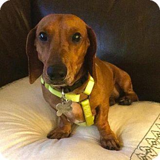 Dachshund Dog for adoption in Houston, Texas - Wynn Duffy
