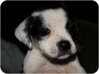 American Pit Bull Terrier Mix Puppy for adoption in Mesa, Arizona - Valentine