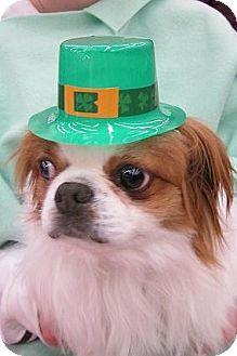 Japanese Chin Dog for adoption in Aurora, Colorado - Yoshi