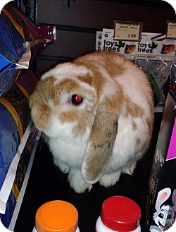 Mini Lop Mix for adoption in North Gower, Ontario - Spice