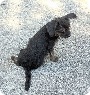 Chihuahua/Yorkie, Yorkshire Terrier Mix Puppy for adoption in Ormond Beach, Florida - Blackie