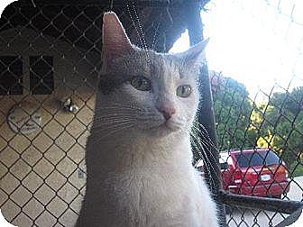 Domestic Shorthair Cat for adoption in Los Angeles, California - Greta Garbo