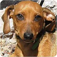 Adopt A Pet :: Huck - Gilbert, AZ