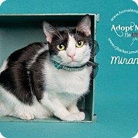 Domestic Shorthair Cat for adoption in Houston, Texas - Miranda Lambert