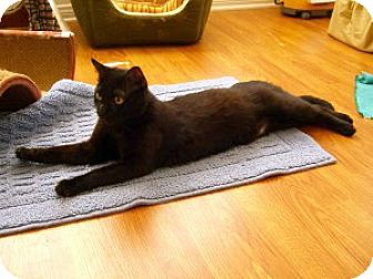 Bombay Cat for adoption in Encinitas, California - Giselle (Courtesy Listing)