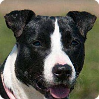 Border Collie/Whippet Mix Dog for adoption in Seattle, Washington - Gwennie, a survior's story