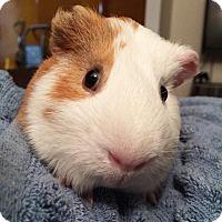 Adopt A Pet :: Morris - Brooklyn, NY